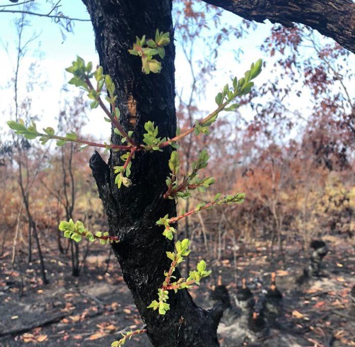 Australia odradza siępo pożarach