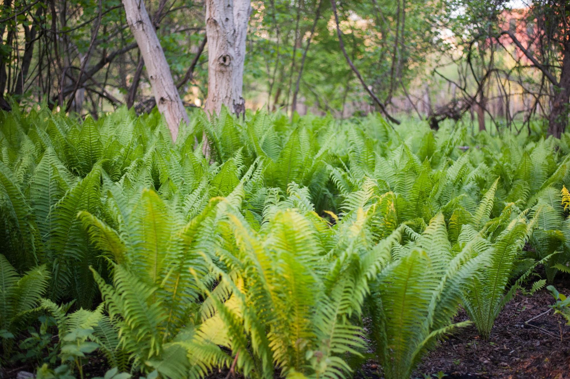 paprociowy las