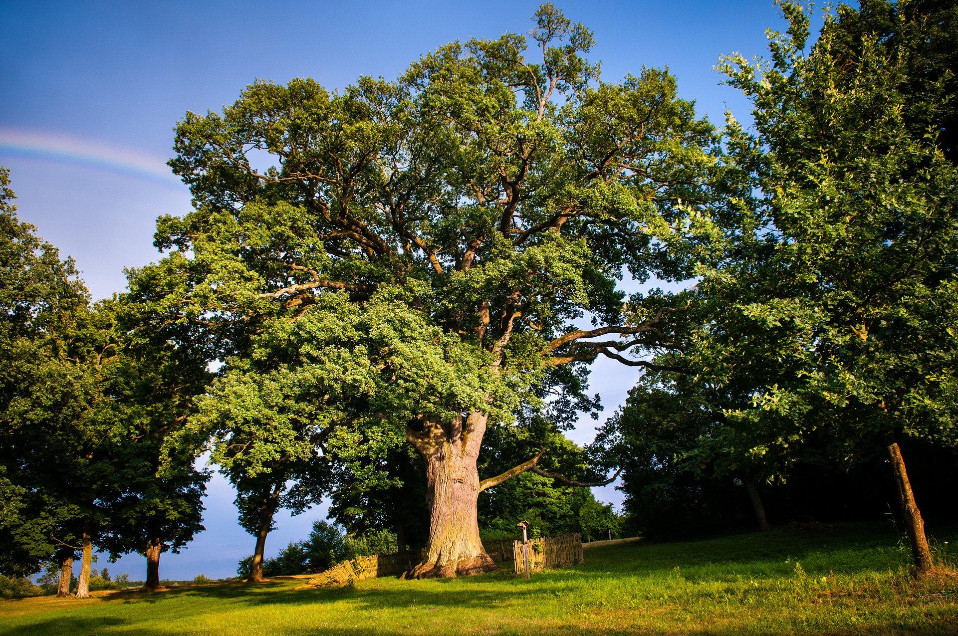 najstarsze drzewa