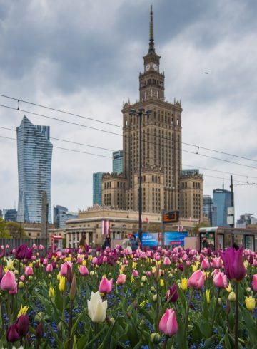 tulipanów