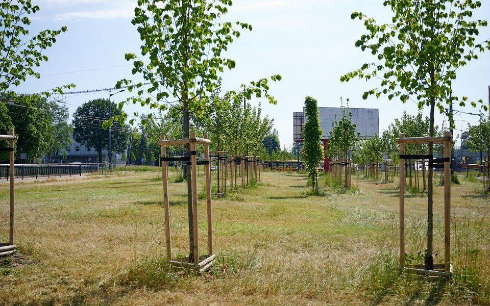 drzew